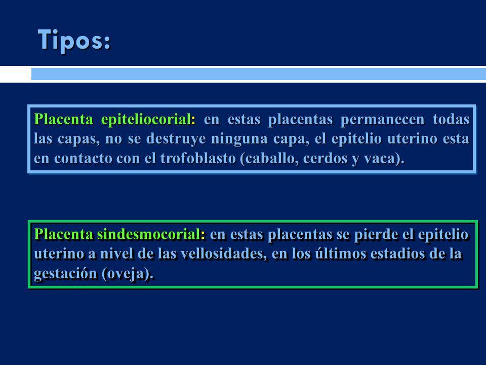 Tipos: Placenta sindesmocorial: en estas placentas se pierde el epitelio uterino a nivel de las vellosidades, en los últimos estadios de la gestación