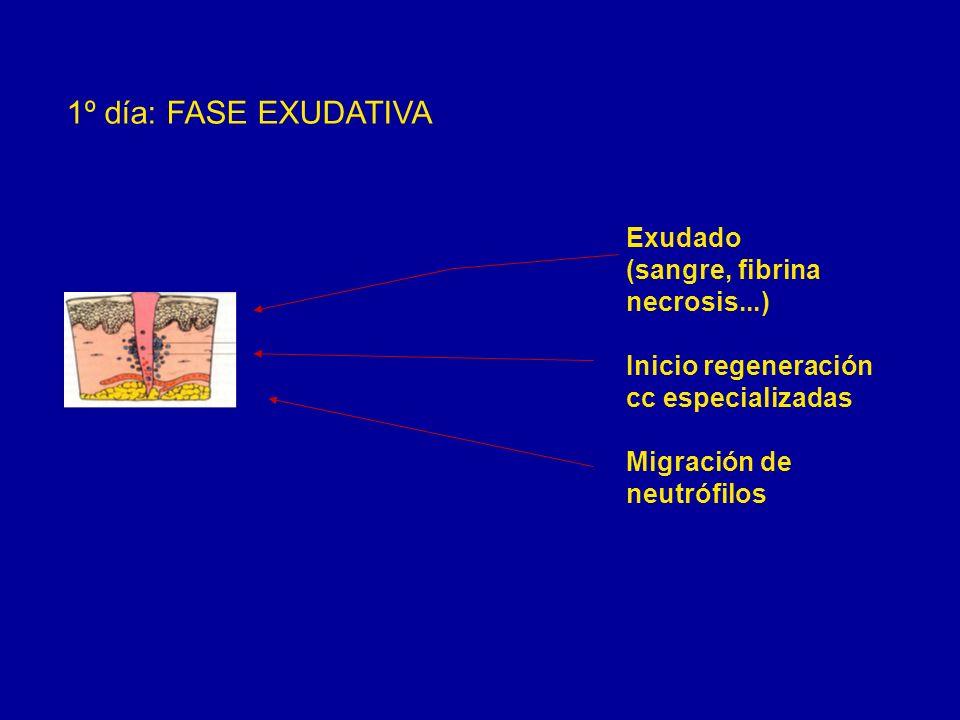 1º día: FASE EXUDATIVA Exudado (sangre, fibrina necrosis...) Inicio regeneración cc especializadas Migración de neutrófilos