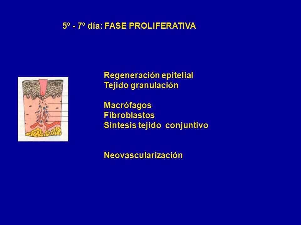 5º - 7º día: FASE PROLIFERATIVA Regeneración epitelial Tejido granulación Macrófagos Fibroblastos Síntesis tejido conjuntivo Neovascularización