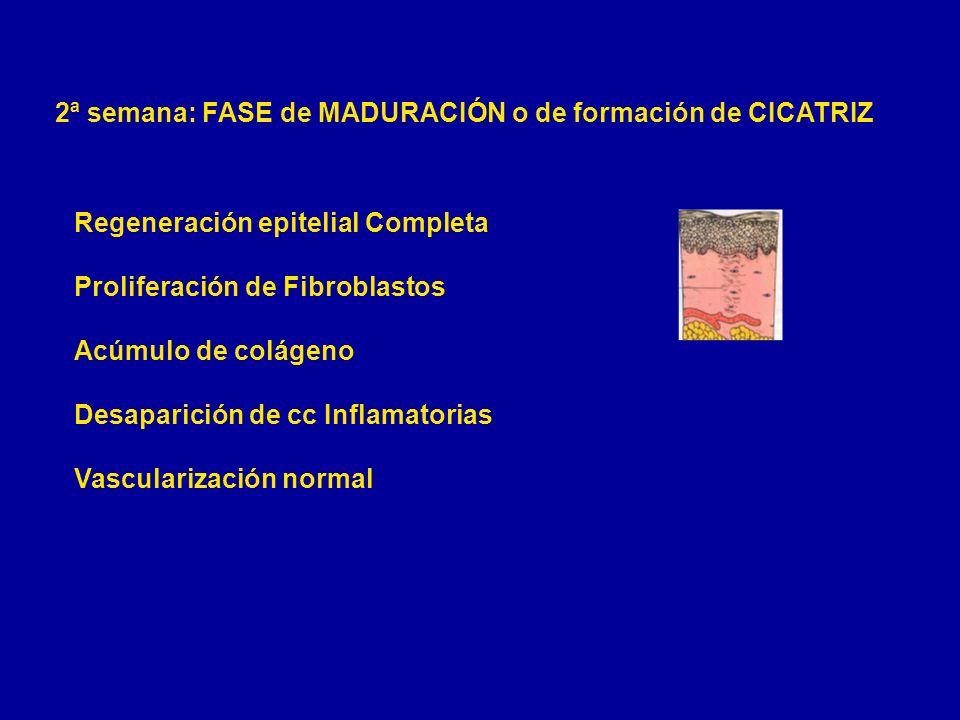 2ª semana: FASE de MADURACIÓN o de formación de CICATRIZ Regeneración epitelial Completa Proliferación de Fibroblastos Acúmulo de colágeno Desaparició