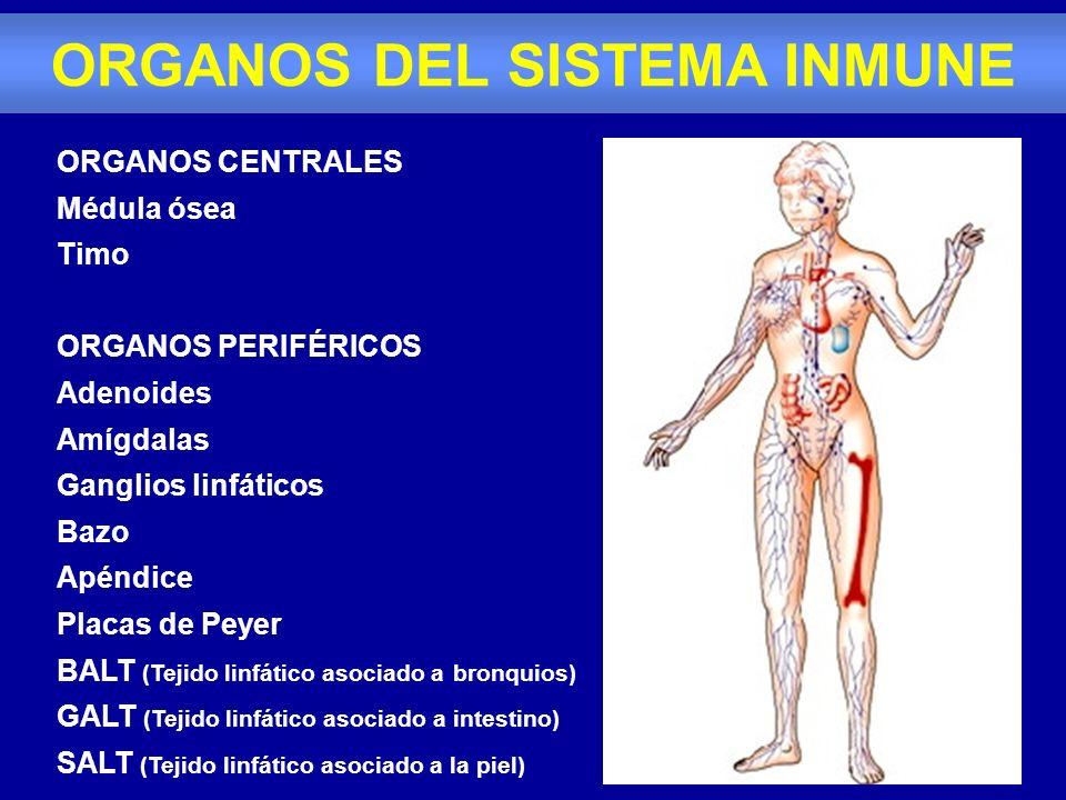 ORGANOS CENTRALES Médula ósea Timo ORGANOS PERIFÉRICOS Adenoides Amígdalas Ganglios linfáticos Bazo Apéndice Placas de Peyer BALT (Tejido linfático as