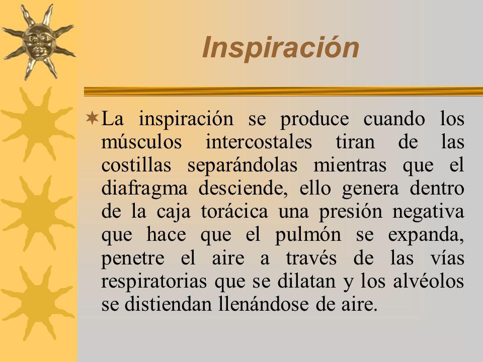 Inspiración La inspiración se produce cuando los músculos intercostales tiran de las costillas separándolas mientras que el diafragma desciende, ello