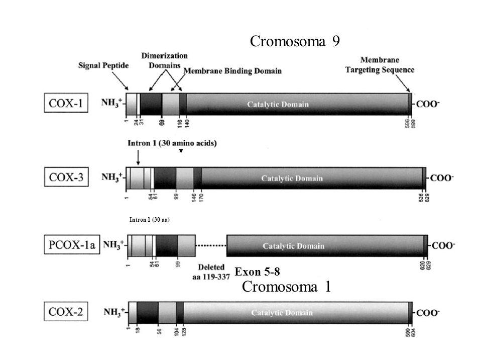 Exon 5-8 Intron 1 (30 aa) Cromosoma 9 Cromosoma 1