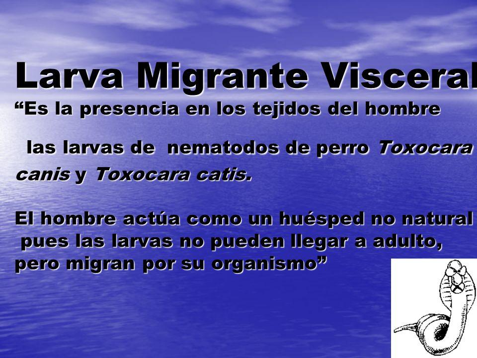 Larva Migrante Visceral Es la presencia en los tejidos del hombre las larvas de nematodos de perro Toxocara canis y Toxocara catis. El hombre actúa co