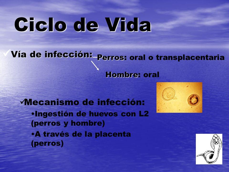 Vía de infección: Vía de infección: Ciclo de Vida Perros Perros: oral o transplacentaria Hombre Hombre: oral Mecanismo de infección: Ingestión de huev