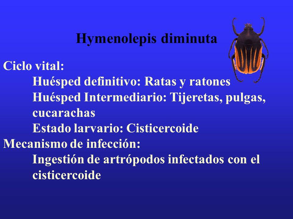 Hymenolepis diminuta Ciclo vital: Huésped definitivo: Ratas y ratones Huésped Intermediario: Tijeretas, pulgas, cucarachas Estado larvario: Cisticerco