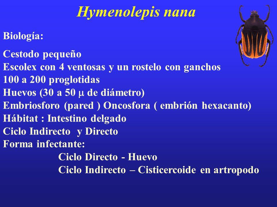 Hymenolepis nana Biología: Cestodo pequeño Escolex con 4 ventosas y un rostelo con ganchos 100 a 200 proglotidas Huevos (30 a 50 de diámetro) Embriosf