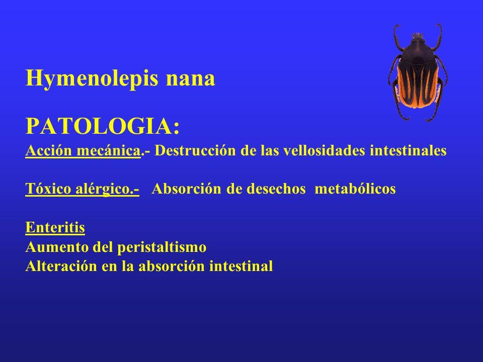 Hymenolepis nana PATOLOGIA: Acción mecánica.- Destrucción de las vellosidades intestinales Tóxico alérgico.- Absorción de desechos metabólicos Enterit