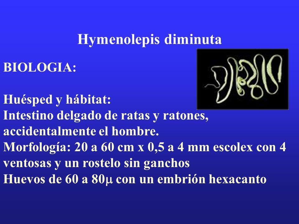 Hymenolepis diminuta BIOLOGIA: Huésped y hábitat: Intestino delgado de ratas y ratones, accidentalmente el hombre. Morfología: 20 a 60 cm x 0,5 a 4 mm