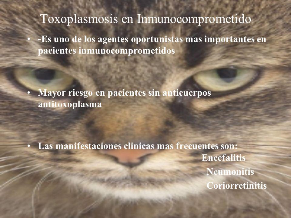 Toxoplasmosis en Inmunocomprometido -Es uno de los agentes oportunistas mas importantes en pacientes inmunocomprometidos Mayor riesgo en pacientes sin