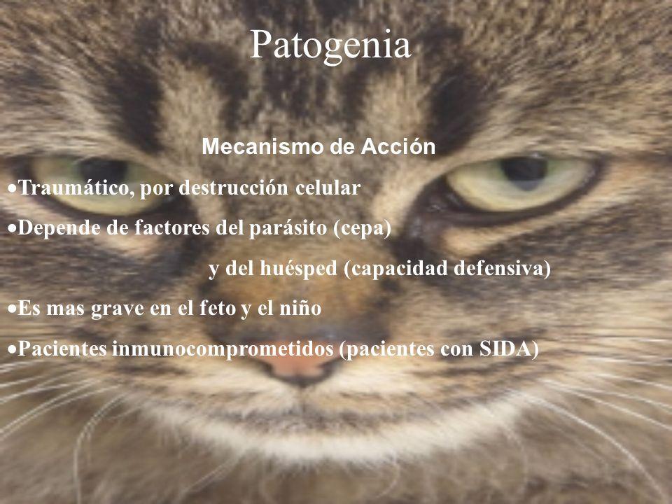 Patogenia Mecanismo de Acción Traumático, por destrucción celular Depende de factores del parásito (cepa) y del huésped (capacidad defensiva) Es mas g