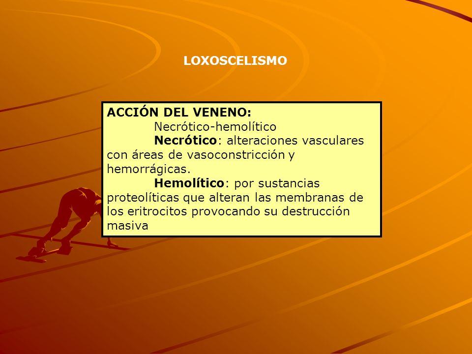 ACCIÓN DEL VENENO: Necrótico-hemolítico Necrótico: alteraciones vasculares con áreas de vasoconstricción y hemorrágicas. Hemolítico: por sustancias pr