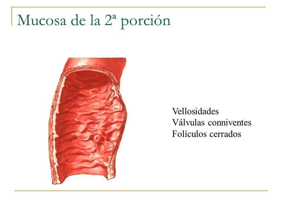 Mucosa de la 2ª porción Vellosidades Válvulas conniventes Folículos cerrados