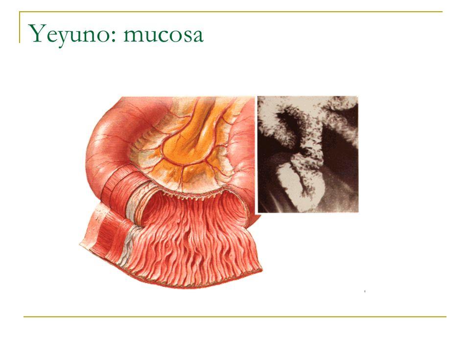 Yeyuno: mucosa