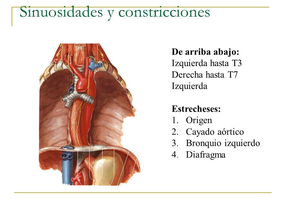 Sinuosidades y constricciones De arriba abajo: Izquierda hasta T3 Derecha hasta T7 Izquierda Estrecheses: 1.Origen 2.Cayado aórtico 3.Bronquio izquier