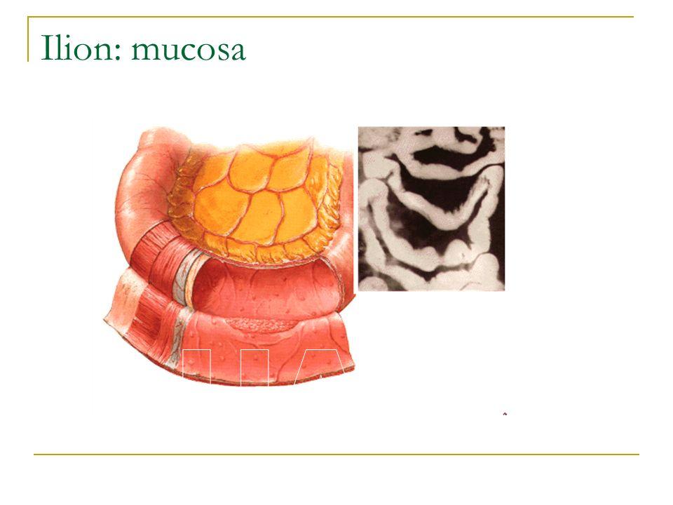 Ilion: mucosa