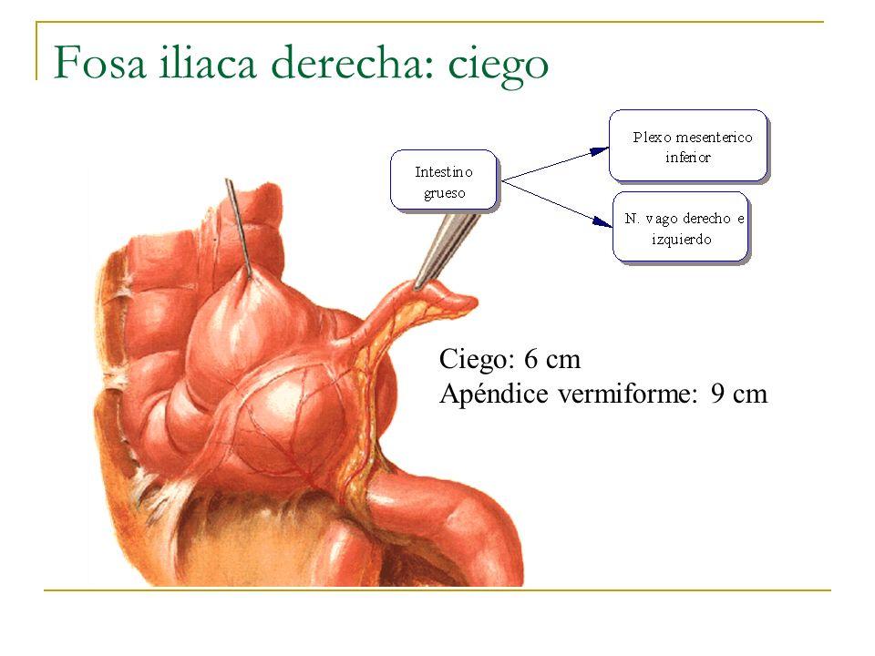 Fosa iliaca derecha: ciego Ciego: 6 cm Apéndice vermiforme: 9 cm