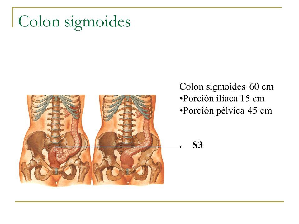 Colon sigmoides Colon sigmoides 60 cm Porción iliaca 15 cm Porción pélvica 45 cm S3