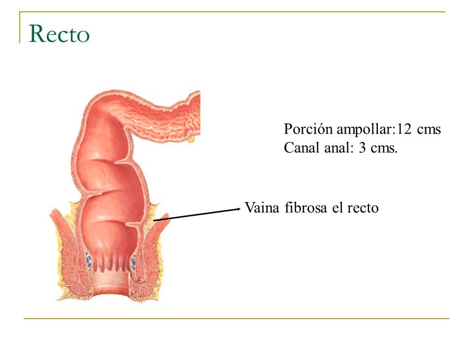 Recto Porción ampollar:12 cms Canal anal: 3 cms. Vaina fibrosa el recto