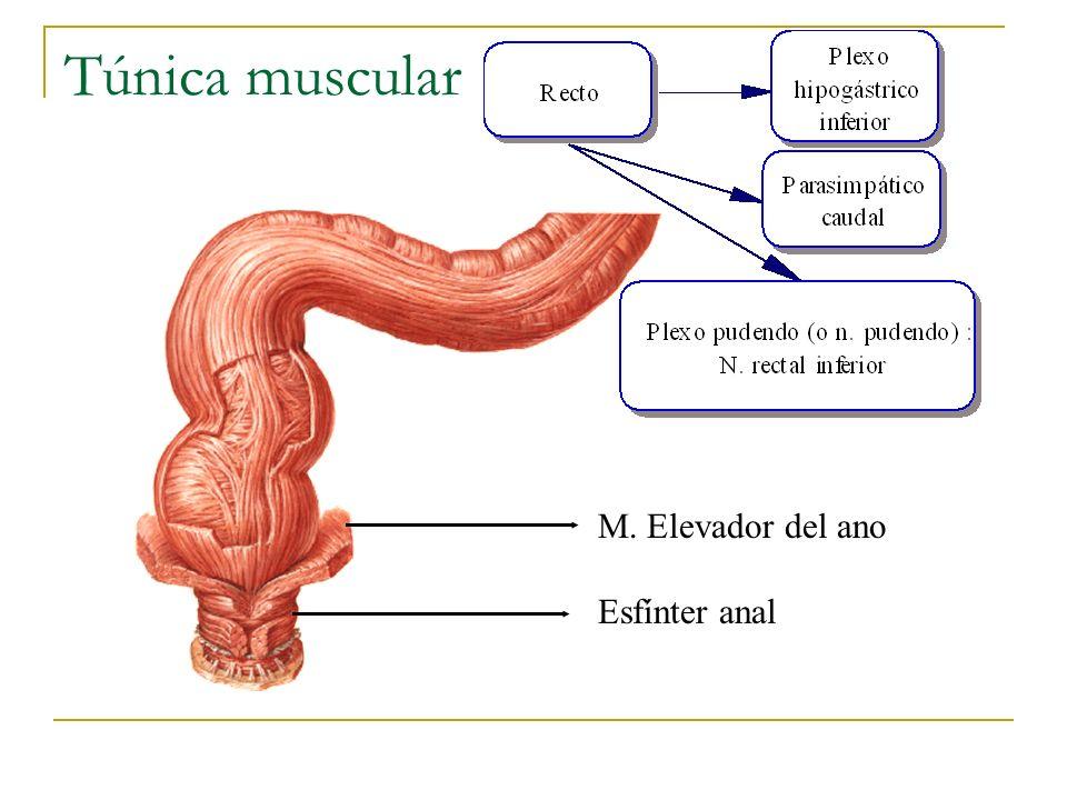 Túnica muscular M. Elevador del ano Esfínter anal