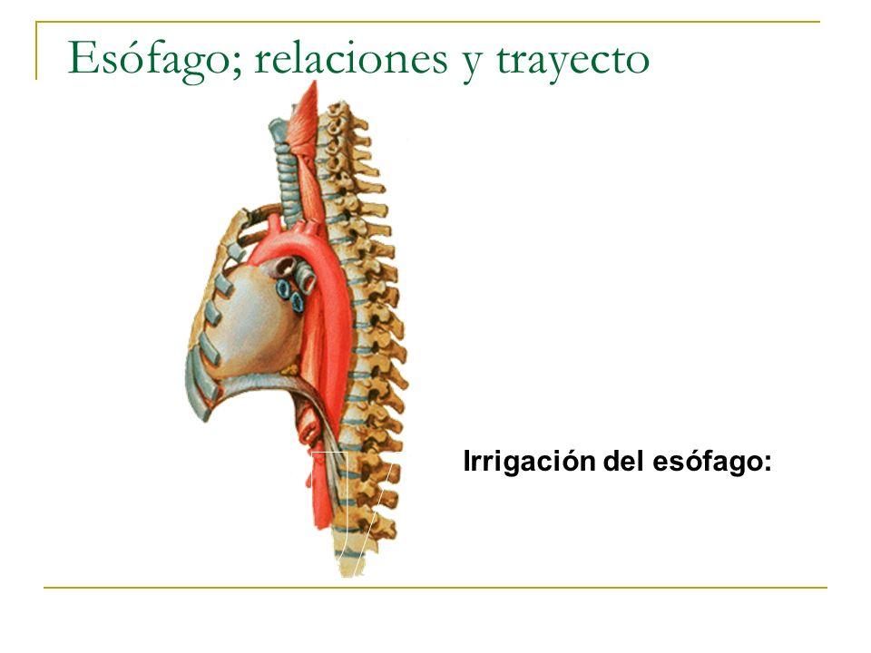 Esófago; relaciones y trayecto Irrigación del esófago: