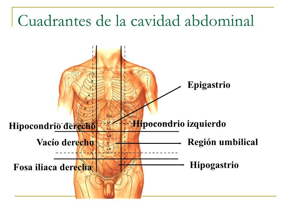 Estómago: túnica muscular Fibras longitudinales Fibras oblicuas Papilla homogénea: 1.Acción mecánica de batido por contracciones sucesivas de la musculatura (plexos de Meisnner).