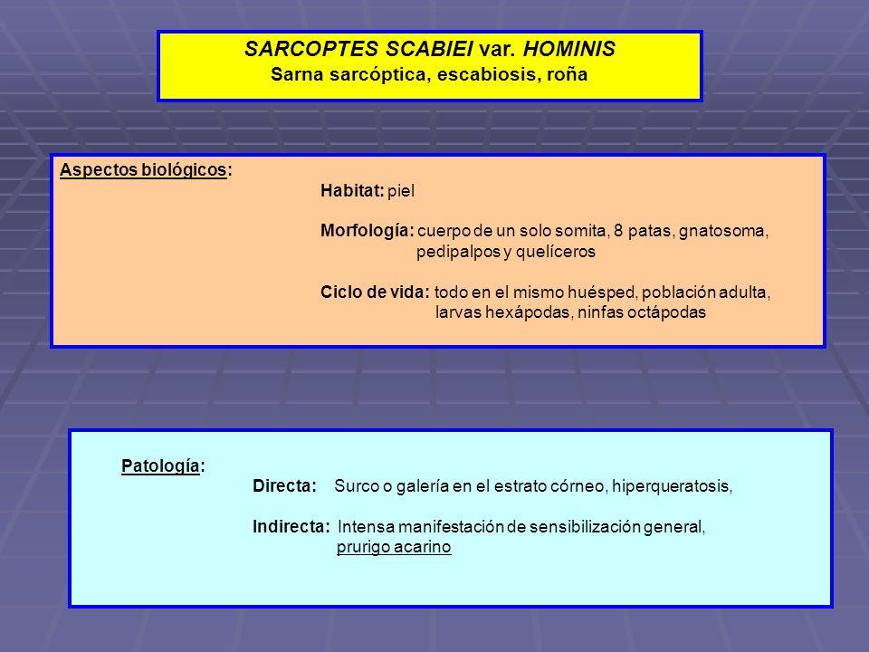 SARCOPTES SCABIEI var. HOMINIS Sarna sarcóptica, escabiosis, roña Aspectos biológicos: Habitat: piel Morfología: cuerpo de un solo somita, 8 patas, gn