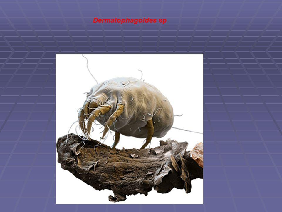Dermatophagoides sp