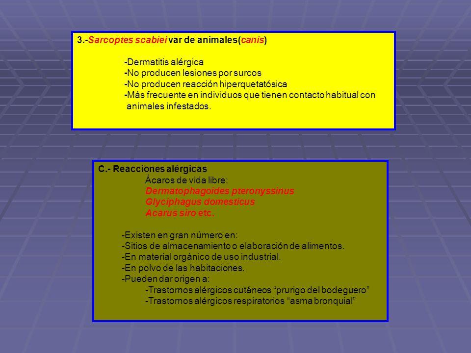 3.-Sarcoptes scabiei var de animales(canis) -Dermatitis alérgica -No producen lesiones por surcos -No producen reacción hiperquetatósica -Más frecuent