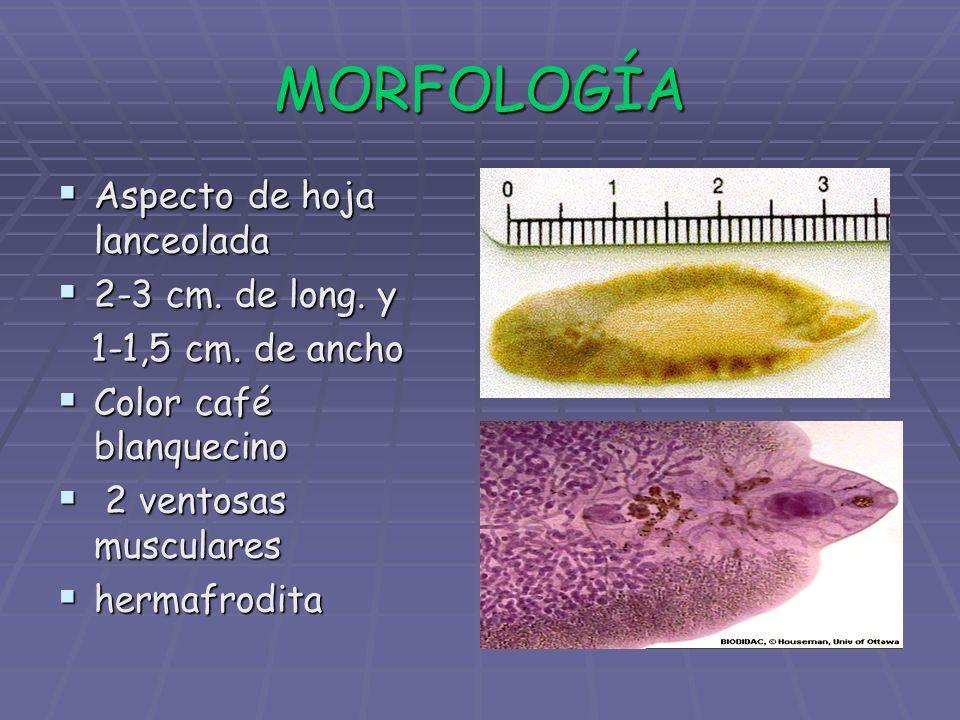 MORFOLOGÍA Aspecto de hoja lanceolada Aspecto de hoja lanceolada 2-3 cm. de long. y 2-3 cm. de long. y 1-1,5 cm. de ancho 1-1,5 cm. de ancho Color caf