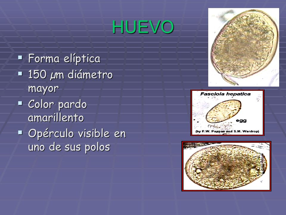 HUEVO Forma elíptica Forma elíptica 150 µm diámetro mayor 150 µm diámetro mayor Color pardo amarillento Color pardo amarillento Opérculo visible en un