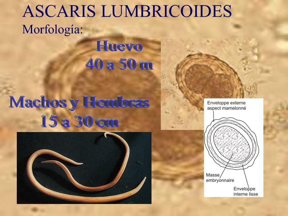 ASCARIS LUMBRICOIDES Morfología:
