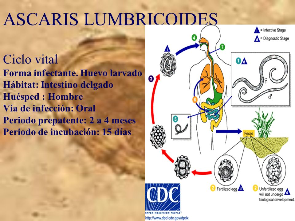 ASCARIS LUMBRICOIDES Ciclo vital Forma infectante.