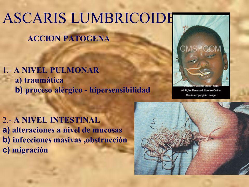 ASCARIS LUMBRICOIDES ACCION PATOGENA 1.- A NIVEL PULMONAR a) traumática b) proceso alérgico - hipersensibilidad 2.- A NIVEL INTESTINAL a) alteraciones