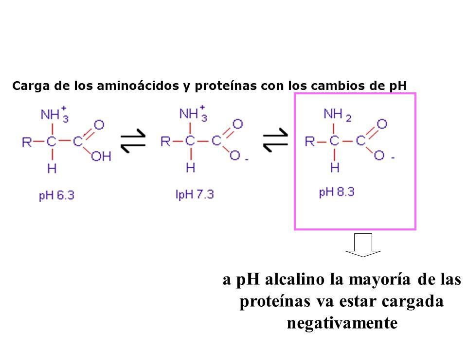 Carga de los aminoácidos y proteínas con los cambios de pH a pH alcalino la mayoría de las proteínas va estar cargada negativamente