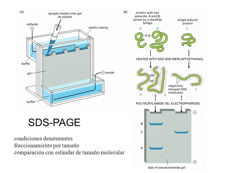 SDS-PAGE condiciones denaturantes fraccionamiento por tamaño comparación con estándar de tamaño molecular