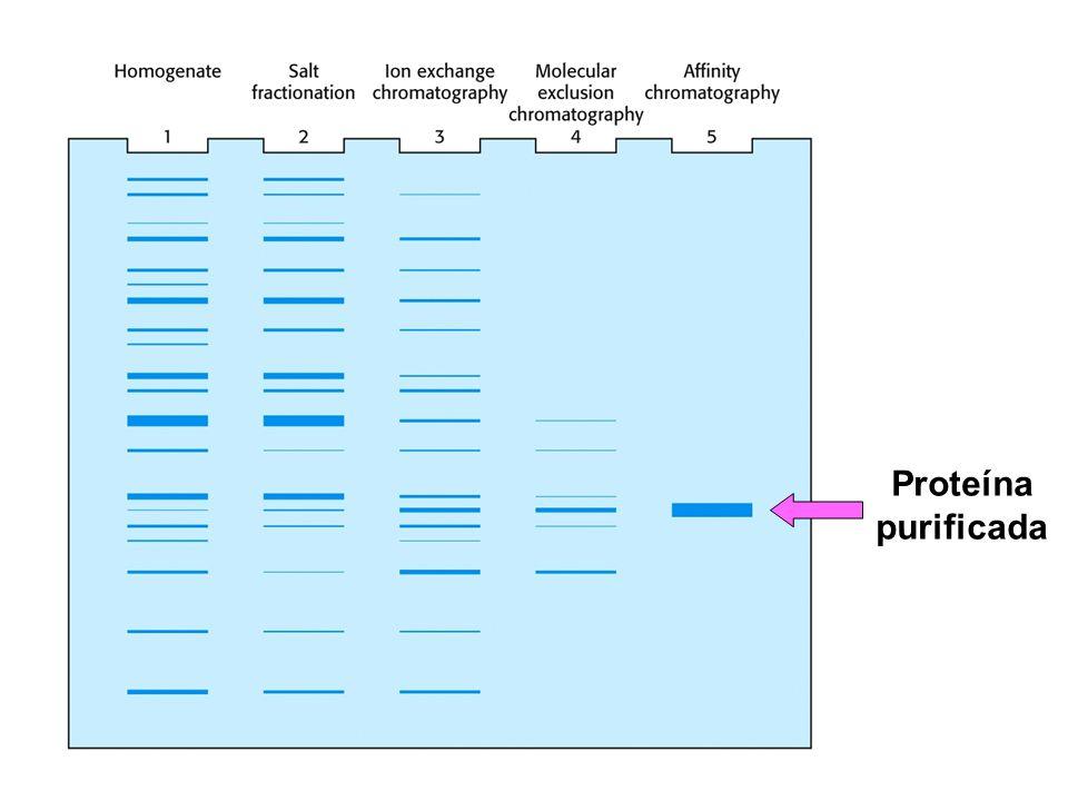 Proteína purificada