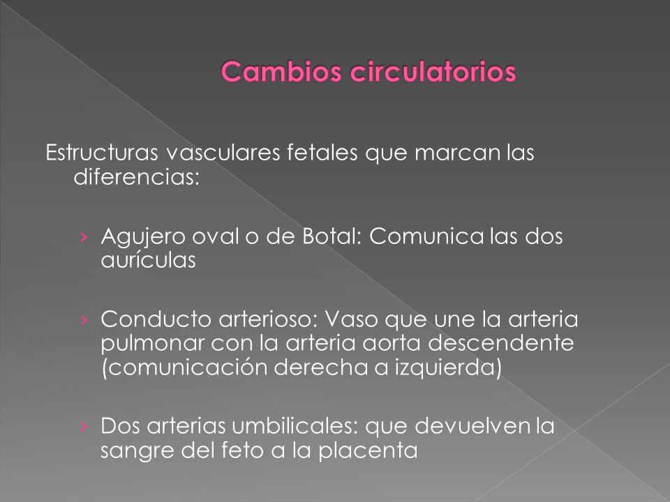 Estructuras vasculares fetales que marcan las diferencias: Agujero oval o de Botal: Comunica las dos aurículas Conducto arterioso: Vaso que une la art