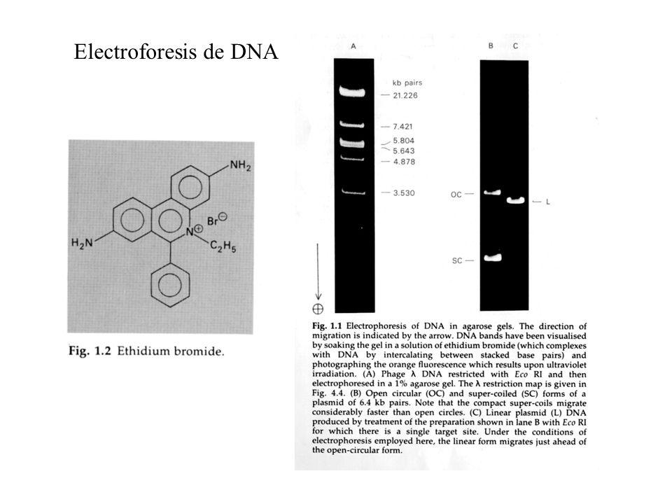 DNA Topoisomerasas Izquierda Derecha
