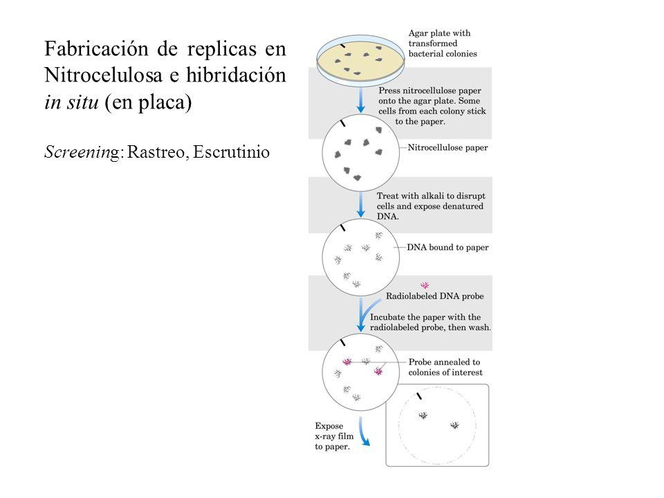 Fabricación de replicas en Nitrocelulosa e hibridación in situ (en placa) Screening: Rastreo, Escrutinio