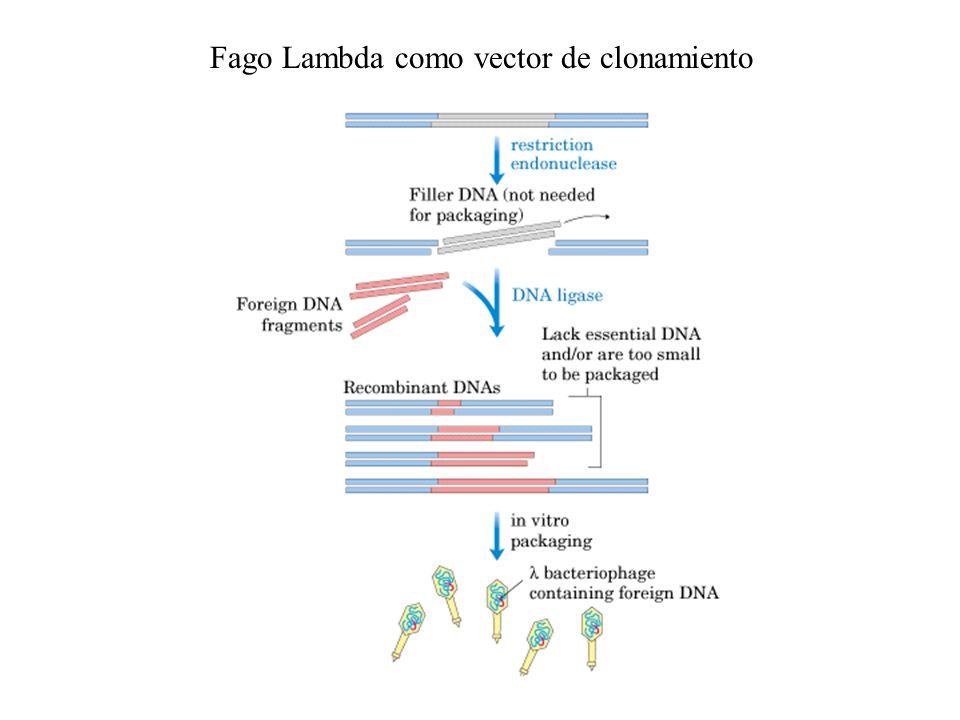 Fago Lambda como vector de clonamiento