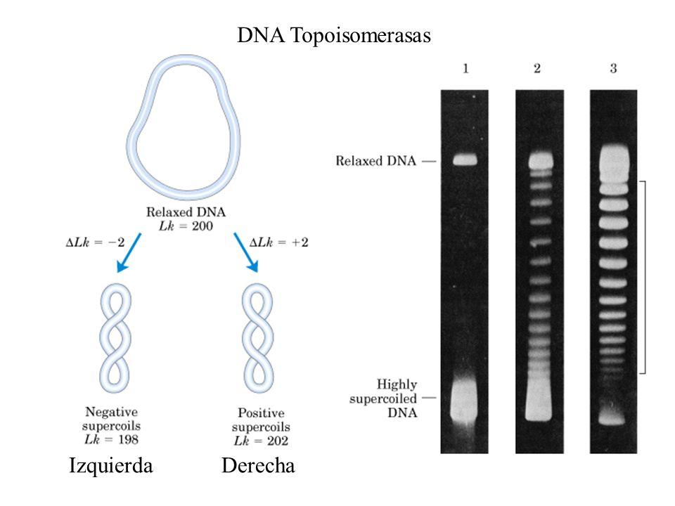 Enzimas de restricción Clasificadas en 3 tipos, donde la mayoría pertenece al grupo II (proteínas monoméricas, poseen simetria rotacional y generalmente requieren Mg 2+ Secuencias palindrómicas Isosquisomeros: Varias enzimas diferentes que reconocen la misma secuencia, donde, algunas cortan sec blanco en diferentes posiciones.
