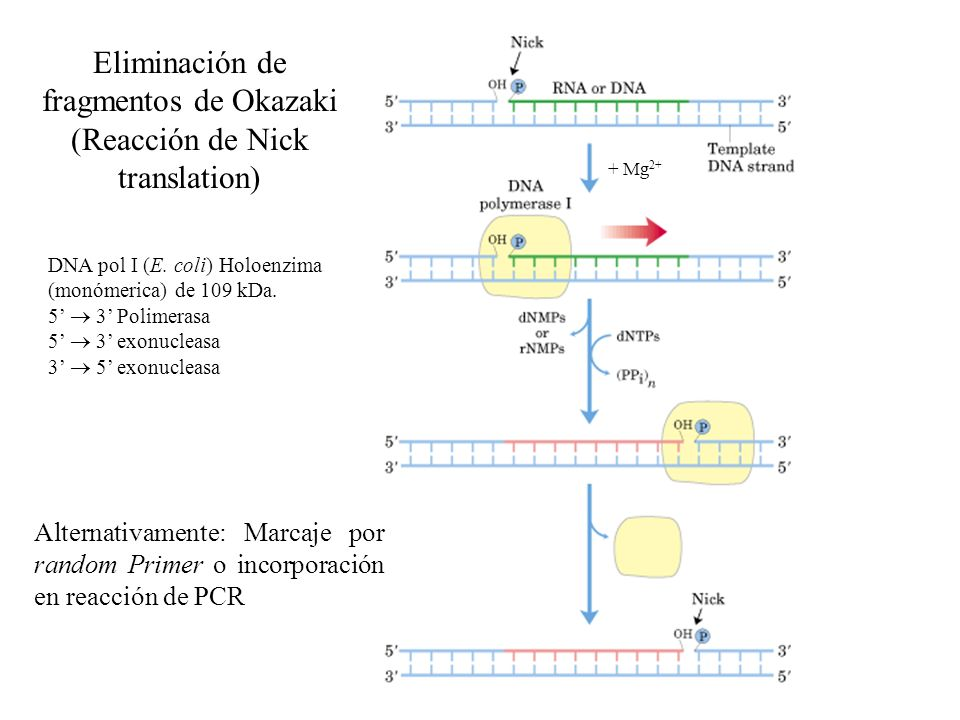 Eliminación de fragmentos de Okazaki (Reacción de Nick translation) Alternativamente: Marcaje por random Primer o incorporación en reacción de PCR DNA