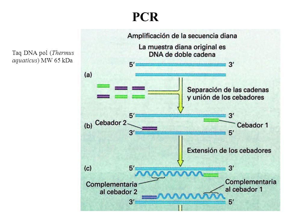 PCR Taq DNA pol (Thermus aquaticus) MW 65 kDa