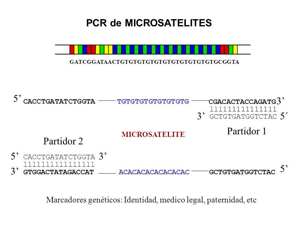 GATCGGATAACTGTGTGTGTGTGTGTGTGTGTGTGCGGTA PCR de MICROSATELITES GTGGACTATAGACCAT ACACACACACACACAC GCTGTGATGGTCTAC 3 MICROSATELITE 5 3 5 CGACACTACCAGATG