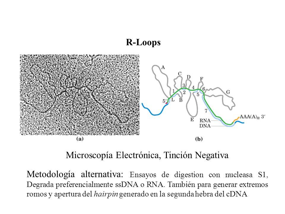 Microscopía Electrónica, Tinción Negativa Metodología alternativa: Ensayos de digestion con nucleasa S1, Degrada preferencialmente ssDNA o RNA. Tambié