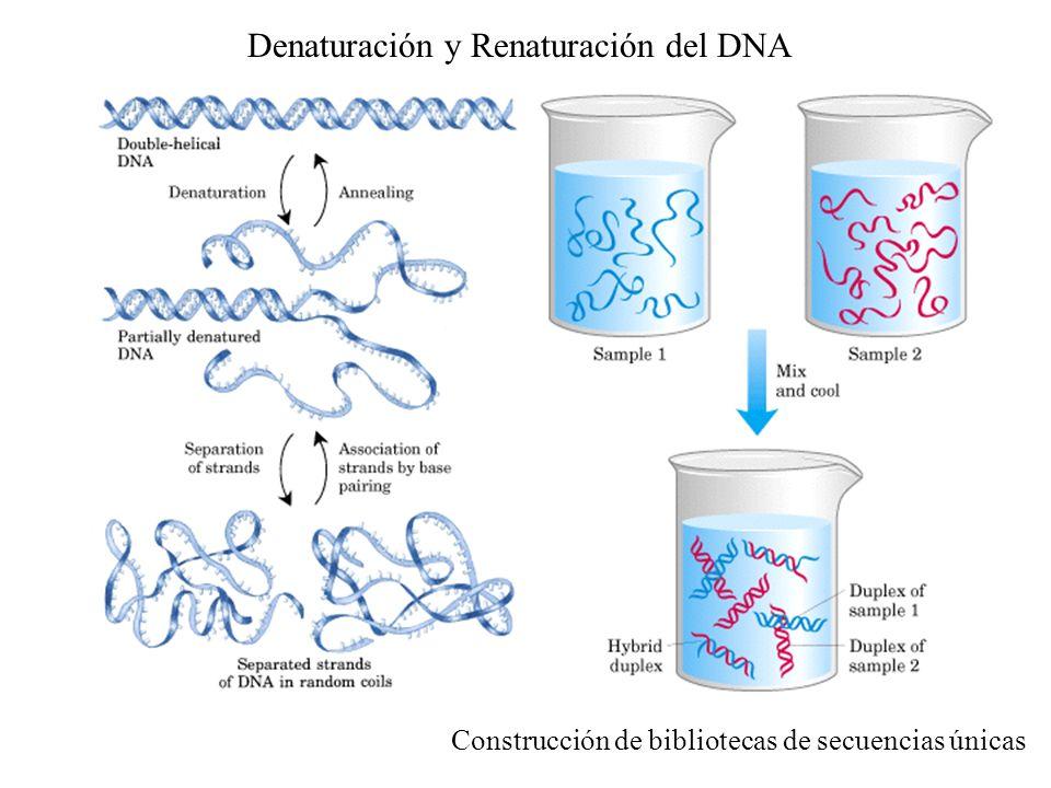 Denaturación y Renaturación del DNA Construcción de bibliotecas de secuencias únicas