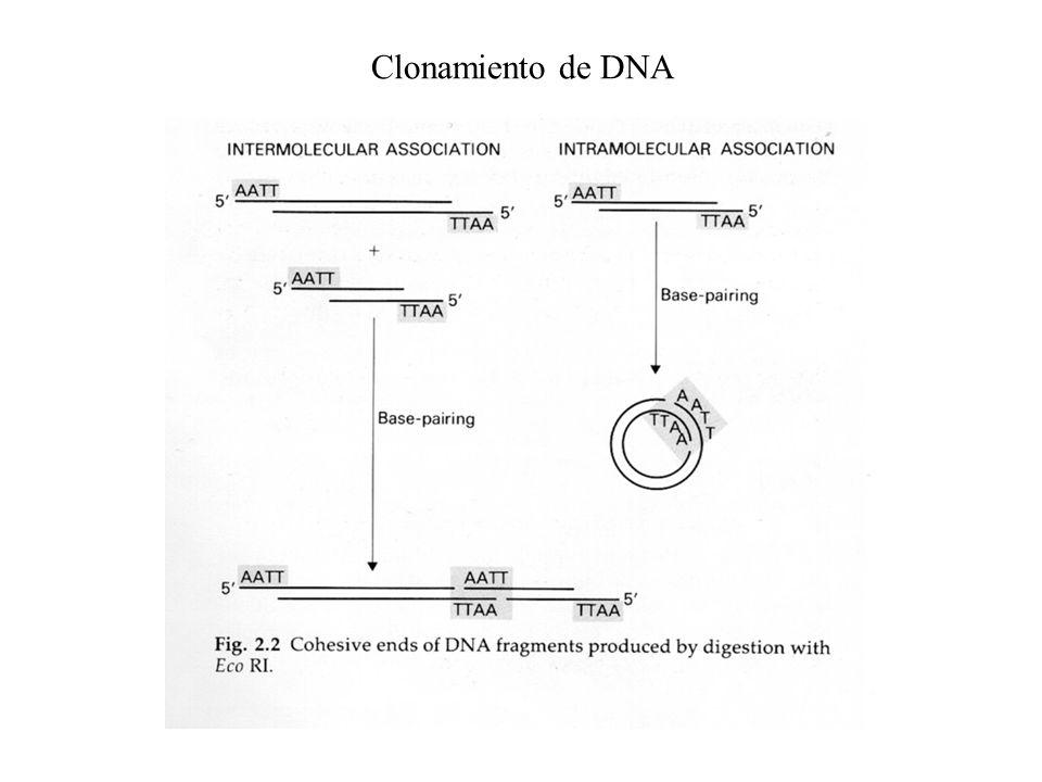 Desfosforilación de vectores (para evitar asociación intramolecular)