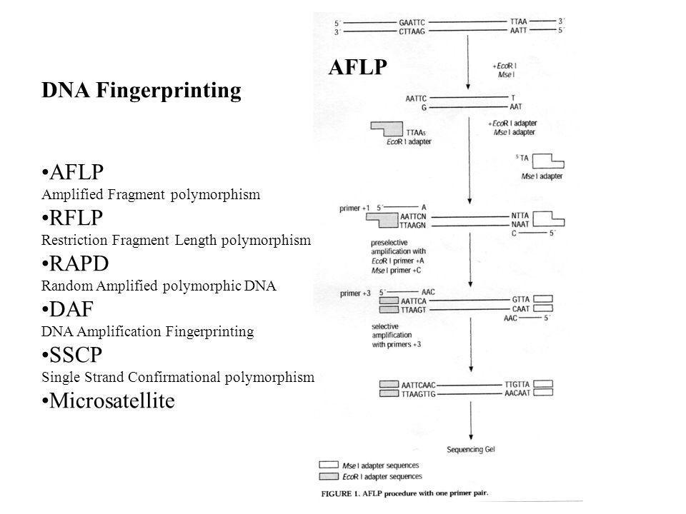 DNA Fingerprinting AFLP Amplified Fragment polymorphism RFLP Restriction Fragment Length polymorphism RAPD Random Amplified polymorphic DNA DAF DNA Am