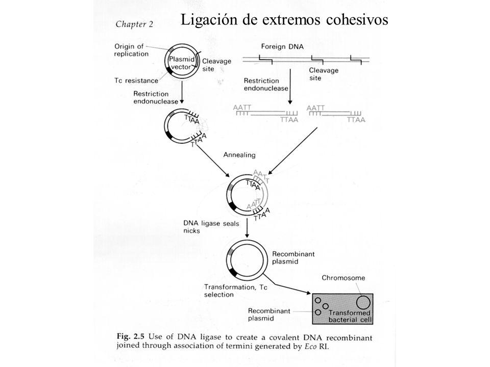 GATCGGATAACTGTGTGTGTGTGTGTGTGTGTGTGCGGTA PCR de MICROSATELITES GTGGACTATAGACCAT ACACACACACACACAC GCTGTGATGGTCTAC 3 MICROSATELITE 5 3 5 CGACACTACCAGATGCACCTGATATCTGGTATGTGTGTGTGTGTGTG CACCTGATATCTGGTA 35 Partidor 2 llllllllllllllll 5´3 GCTGTGATGGTCTAC Partidor 1 lll111111111111 Marcadores genéticos: Identidad, medico legal, paternidad, etc